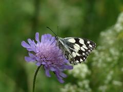 Schachbrettschmetterling (germancute) Tags: flower nature butterfly outdoor blume wildflower schmetterling