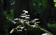 Leaves of light (hannacsilla) Tags: wood leaves forest moss trunk