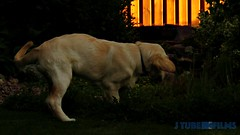 Detta var ju roligt! (J Tube-Films) Tags: scooby söt gullig golden retriever valp valpar busar leker dog puppy cute