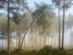 Out Of Line (Dylan Nardini) Tags: trees summer mist fog forest scotland woodlands lanarkshire 2016 thankerton quothquan