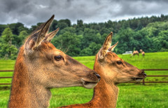 Red Deer (nigdawphotography) Tags: nature animal mammal head doe deer heads reddeer