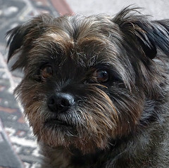 cross a cairn terrier with a pug.... (maggie224 -) Tags: dog pug cairnterrier tenny