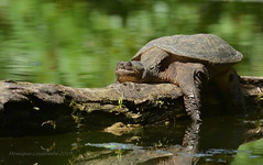 Tortue Serpentine - Snapping Turtle (Monique Coulombe) Tags: chordata animalia reptilia chelonii testudines cryptodira chelydridae chelydra chelydraserpentina tortueserpentine snappingturtle tortue turtle reptile nature naturesauvage naturephotography quebecwildlife québec québecnaturesauvage quebec québécois fauneduquébec fantasticnature wildlife wildnature photographequébécois photonature moniquecoulombe water