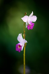 FS9A0058 (dSLRartist) Tags: canon ef70200mm f28l eos 5d mark3 orchid colours flowers sir happy joy nature