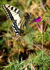 Paź królowej // Papilio machaon