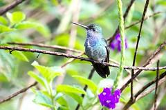 Hummingbird / Colibri     .... Peru / Prou (geolis06) Tags: geolis06 prou peru per amriquedusud southamerica romanu amazonie amazonia rainforest jungle fort forest madrededios biospherereserve manu parcnationaldeman mannationalpark 2016 patrimoinemondial unesco unescoworldheritage unescosite nikon nikond7200 sigma sigma150600mmf563dgoshsmcontemporary oiseau bird aves hummingbird colibri sapphirespangledemerald amazilialactea arianesaphirine amaziliazafirina sapphirespangled emerald pantiacollatour