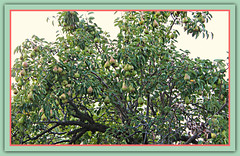Pear Tree Loaded (bigbrowneyez) Tags: pears peartree delicious sweet dolce juicy flickrjuicy tasty delightful fantstic fabulous fresh loaded many green frame cornice nture natura momsstreet carmelina maricella amazing pretty lovly food fruit edible nutricious delectable dof branches peartreeloaded summer estate harvest jam baked