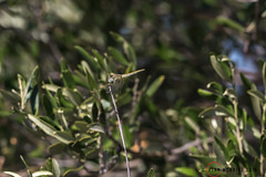 Red-veined Darter AM8Q9284.jpg (alanmcbride1) Tags: dragonflies rocdeconhillac redveineddarter france europe gruissan languedoc sympetrumfonscolombii