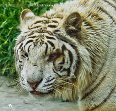 White Tiger (creati.vince) Tags: creativince shanghai wildanimals tiger whitetiger