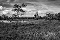Wet heathland with pines (Rense Haveman) Tags: fujix100t rensehaveman monochromelandscape bw blackwhite blackandwhite trees landscape heathland outdoor wild nature clouds cloudscapes highcontrast