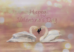 Swan Valentine - Pink (Patti Deters) Tags: bird animal heart swan swans love valentines white trumpeter pair mist water animals birds nature river stcroix wisconsin horizontal lobby office cafeart design interiordesign art canon pattideters pattidetersphotography happyvalentinesday card holiday pink two february14