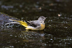 Bathing Beauty (Gary McHale) Tags: female grey wagtail river colne south pennines bathing