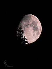 Mondliebe... (SteffPicture) Tags: moon mond tanne silhouette nightshots night nacht nachtbild steffpicture lenksimmental lenk
