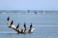 Delta del Po - (IT) (Marco Peratello) Tags: cormorano uccelli birds goro ferrara po delta canon eos 1200d rebel t5 marco peratello natura fiume river 55250