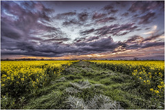 A prickly path... tackle it if you dare! (RissaJT_23) Tags: prickles path canola canolafield goldencanola weeds grass clouds sky sunset canon canon6d canoneos6d canon1740mm landscape australianlandscape australiancountry victoria australia diggersrest country countryvictoria