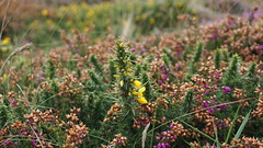 A weekend stroll in Cornwall   #a6000 #sony #bokeh #uk #flowers #stives (richardkbsham) Tags: a6000 sony bokeh uk flowers stives