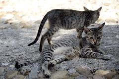 (Giramund) Tags: sicily italy cefal cat animal
