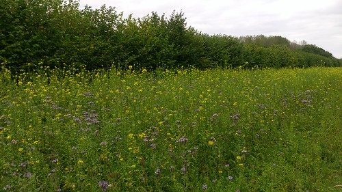 Green manure in agroforestry alley, Wakelyns Agroforestry, UK