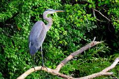 Great Blue Heron (Lois McNaught) Tags: greatblueheron heron bird avian nature wildlife outdoor summer hamilton ontario canada
