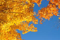 Look up_MG_1352 (CFurjanic93) Tags: pennstate pennstateuniversity trees fall fallsession stude students college collegecampus bikes sun warmth foliage sky bikerack golden yellow orange