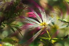 S p r i n g (andr3ms) Tags: spring primavera flora flower flor pantanal nature natureza brasil brazil nikon j1 nikonflickraward 50mm colors cores colorful bokeh profundidade