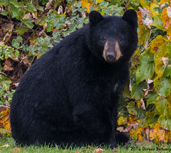Look who's coming to breakfast!! (Doreen Bequary) Tags: bear connecticut afs200500mm d500 animal