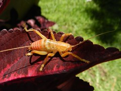 saltamontes longicornio Tettigoniidae-4 161011 (Topuig) Tags: tettigoniidae saltamontes longicornio elsalvador orthoptera longhornedgrasshopper