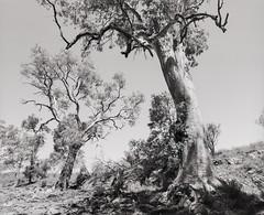 River Red Gums (GrisFroid) Tags: landscape outback trees flindersranges creek redgum 120 mamiya rz67