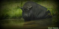 Pardon me as I take my bath... (mark owens2009) Tags: ellijaygeorgia bathing boar