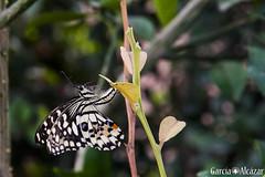 Papilio demoleus (Manolo G.A.) Tags: papilio demoleus canon 50d 18200 mariposa butterfly mariposario njar almera