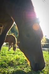 Horse head... (kerstinlange1) Tags: animalsinthewild animals iloveanimals domesticanimal animalhead horse sunlight frontview browncolor naturelover naturephotography beautyinnature nature animalphotography