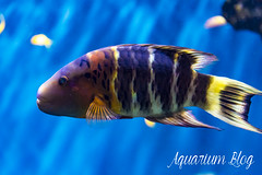 Cheilinus fasciatus (AquariumBlog.es) Tags: acuario aquarium peces fish pez marino saltwater water freshwater dulce agua corales payaso clown sepia acantharus pterois pomacanthus barcelona arrecife reef