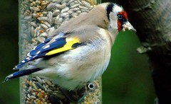Goldfinch (samm.doyle) Tags: goldfinch feeding wildlife smallbird vibrant colours swanwick naturereserve hampshire