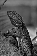 Bearded dragon (boze610 [ free tibet ] [in giro per il mondo]) Tags: lizard lucenaturale lucertola australia blackandwhite biancoenero bw animali animals animal animale wildlife wild wildlifeofaustralia wildanimal naturalmente natura nature naturallight greatphotographers groccaphoto