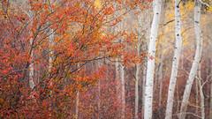 Autumnal Joy (Images by William Dore) Tags: usa landscape trees nature wyoming nikon d810 nikond810 autumn outside fall autumnal colours colors grandtetonnationalpark nationalpark outdoors