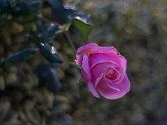 Meyer-Optiks-Primoplan 58mmf1.9-Rose-1 (Palenquero Quercus agrifolia) Tags: pentax bokeh 58mm f19 primoplan