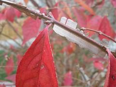 화살나무 | 헤이리 (LeeWonHee) Tags: 헤이리 화살나무