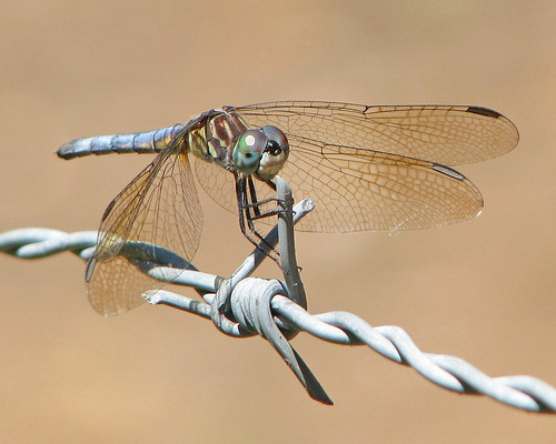 12 Days of Christmas Butterflies & Dragonflies - #5 Blue dasher on barbed wire