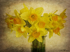 Spring Delight (maureen bracewell) Tags: flowers stilllife texture nature yellow spring bunch daffodils redbubble maureenbracewell saariysqualitypictures