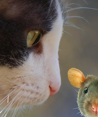 Cat and Rat (swong95765) Tags: eye cat rat action trust pressure uncomfortable marsupial