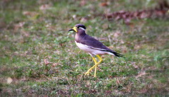 Yellow Wattled Lapwing (Balaji Photography - 2.5 Million Views and Growing) Tags: bird nature birds canon madras birding lapwing chennai tamron tamilnadu birdwatcher birdphotography birdlovers birdmigration guindy yellowwattledlapwing birdphotographer chennaiphotos guindynationalpark nammachennai chennaibirds canon600d chennailife adyarecopark guindynaturalpark nammamadras