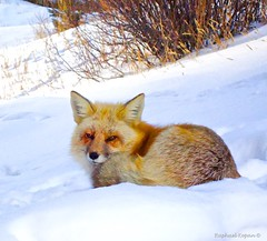 Old Fox that did not care about my point and shoot (RKop) Tags: lumix zs3 colorado raphaelkopanphotography