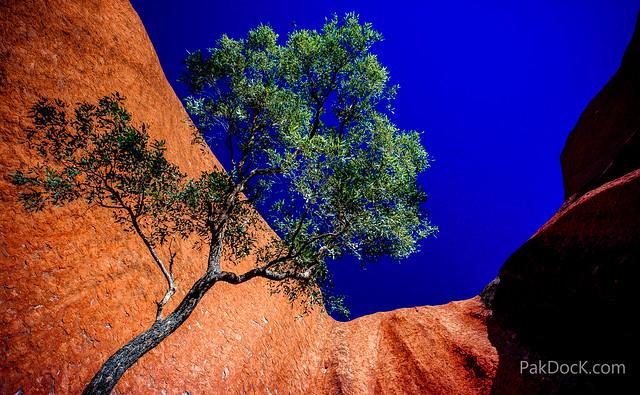 Uluru tree