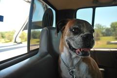 Kim (Juan Bautista Darino) Tags: dog argentina lima buenos aires capital perro boxer fotografia ph federal bau zarate s10 darino