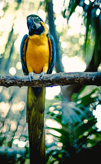 Toeing the line (Jodie Dobson) Tags: green bird yellow canon palms island bokeh miami jungle tropical fullframe macaw 6d polarisingfilter radlab jungleis palmbokeh canon6d