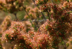 Our local wildflowers - Leptospermum seed heads with resident spider (Lesley A Butler) Tags: moss shadows earlymorning australia victoria wildflowers leptospermum whitlands