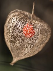 Amour en cage **--- °°° (Titole) Tags: physalis amourencage titole nicolefaton lanternejaponaise groundcherry friendlychallenges diamondsaward thechallengefactory herowinner challengeyouwinner perpetual