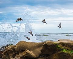 Ruddy Turnstones (Gentilcore) Tags: ocean beach birds florida birdsinflight atlanticocean eastcoast ruddyturnstone atlanticcoast arenariainterpres charadriiformes scolopacidae satellitebeach brevardcounty