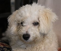 Se busca peluquero (7sombreros) Tags: puppies bichonfrise funnydogs