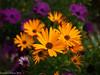 Bold (David S Wilson) Tags: uk flowers england flower ely fens 2014 flowersplants panasonicdmcgf1 lumix20mmf17lens davidswilson lightroom5